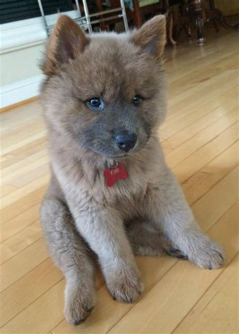 Do Chows Shed by Chow Chow Crois 233 Husky Animaux Cercles