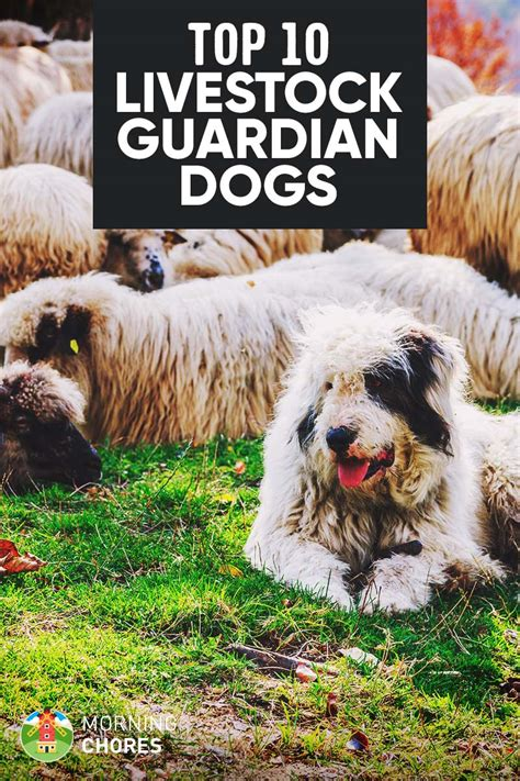 livestock guardian breeds livestock guardian animals breeds picture breeds picture