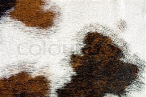 cow fur texture close up of a cow hide texture stock photo colourbox