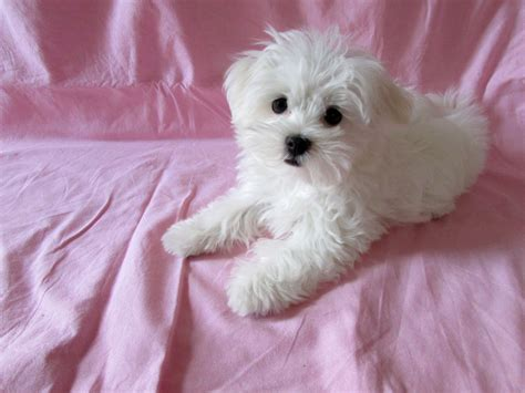 maltese puppies colorado last beautiful 700 today wisbech cambridgeshire pets4homes