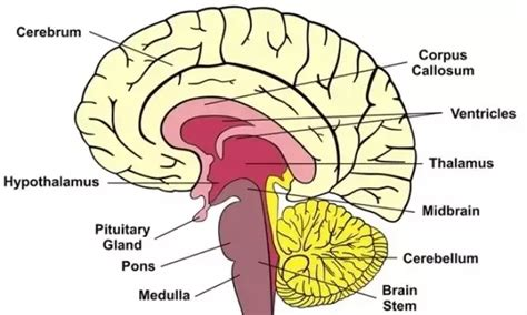 different sections of the brain what are the different parts of the brain what are their