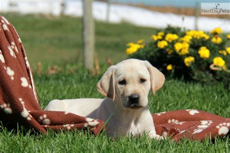 yellow lab puppies near me labrador retriever puppy for sale near lancaster pennsylvania a9602e0e 26e1