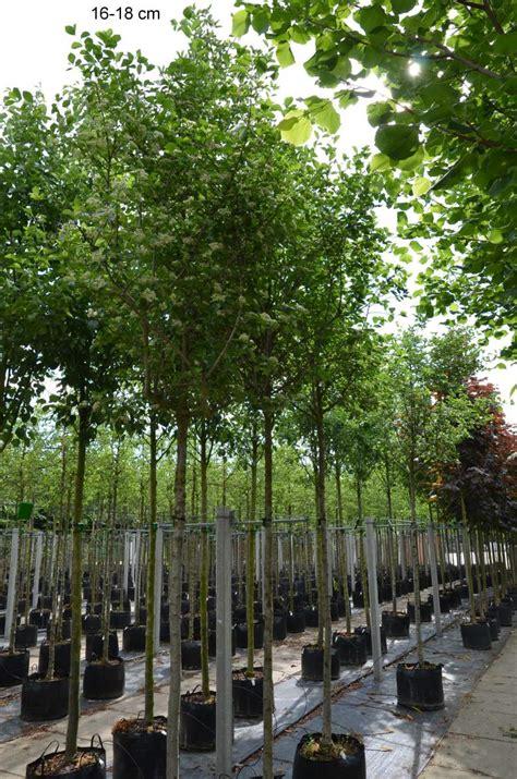 steinfußböden für küche robuster kleinbaum als guter sichtschutz mr
