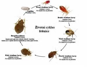 Lifespan Of Bed Bugs Probl 233 M Quot štěnice Quot Tre 180 D Spol S R O