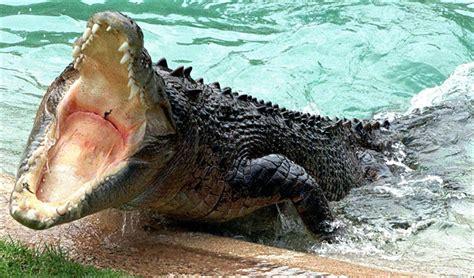 Animals World: crocodiles attack animals