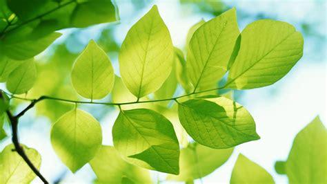 leafs wallpaper