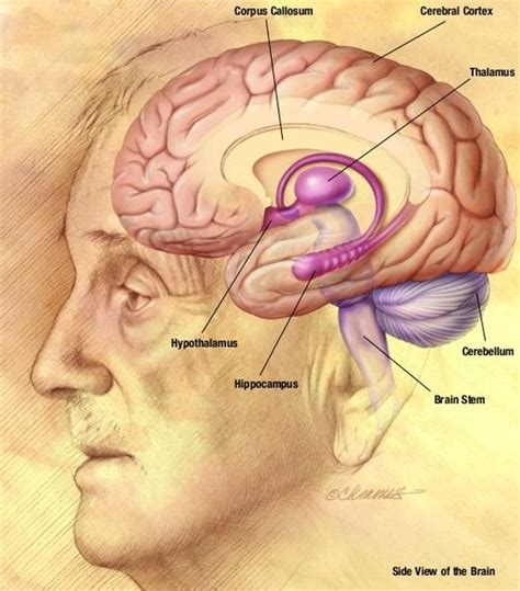sections of the human brain the human brain quotes quotesgram