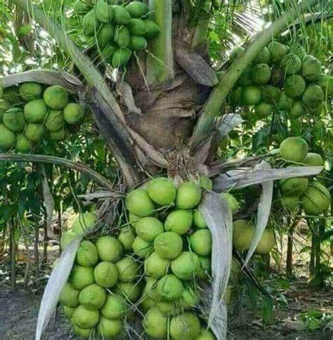 Jual Bibit Kelapa Hibrida Di Karawang bibit kelapa hibrida jambukristal