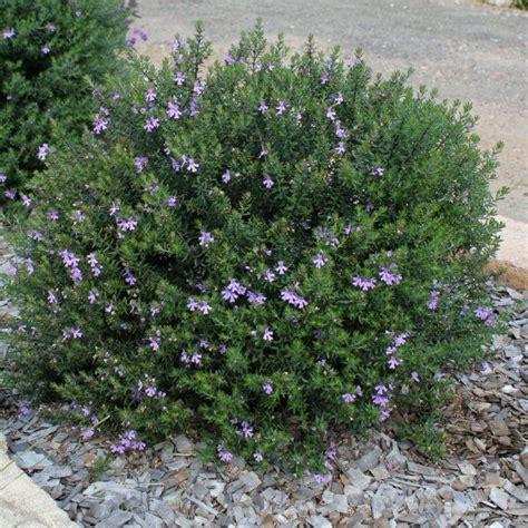 shrub with like flowers westringia fruticosa blue gem coastal rosemary 1