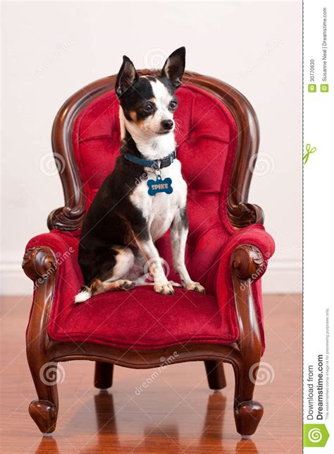 cute chihuahua  red  fashioned chair stock photo