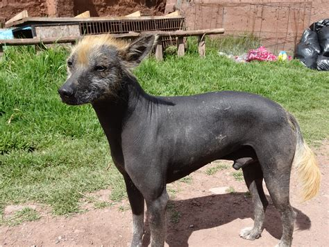 peruvian hairless peruvian hairless history personality appearance health and pictures
