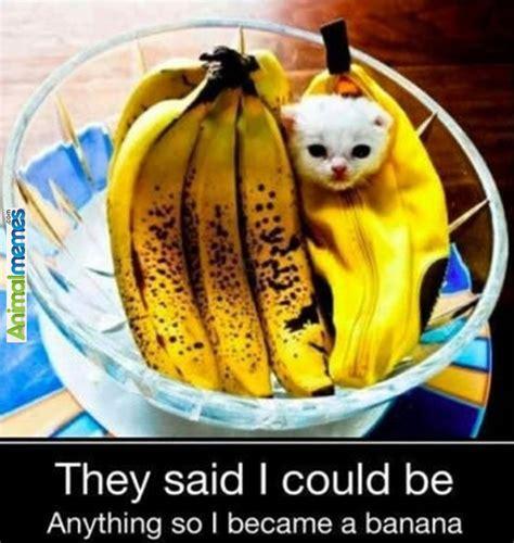 Banana For Scale Meme - cat memes banana for scale cat memes pinterest