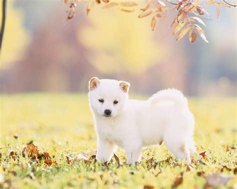 white shiba inu puppies white shiba inu wallpaper photos wallpaper wallpaperlepi