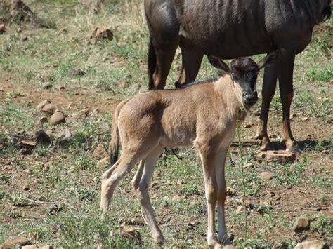 baby wildebeest photo