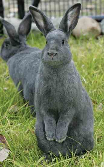 kinds  rabbits silver fox rabbit