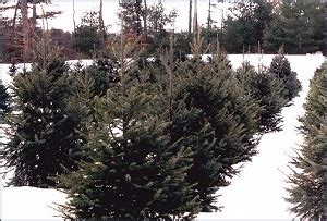 christmas tree farms in topsfield ma where you can cut down trees boston and northeastern massachusetts tree farms choose and cut trees tree