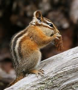 chipmunk pictures free small mammals