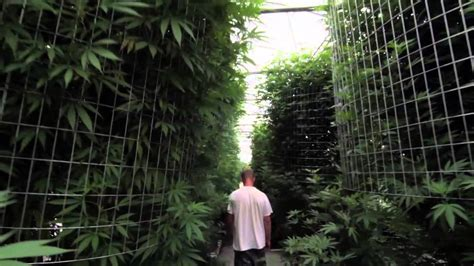cannabis greenhouse systems youtube