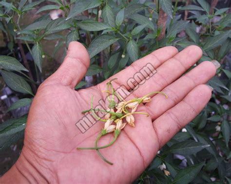 Pupuk Mencegah Bunga Rontok 9 tips jitu mengatasi dan mencegah rontok bunga dan buah cabai