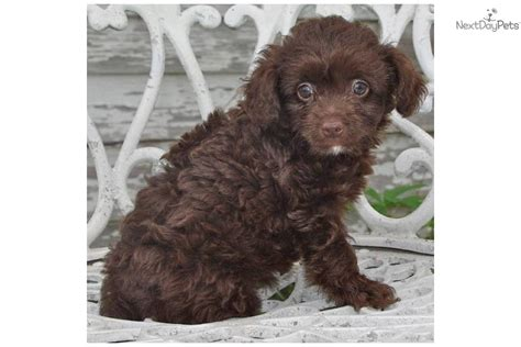 chipoo puppy tiny chipoo puppy chi poo chipoo puppy for sale near minneapolis st paul