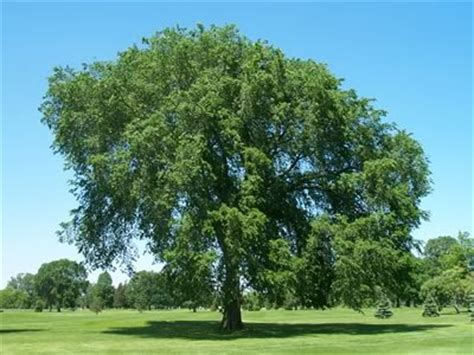 elm tree meaning elowen