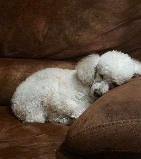 standard poodle rescue indiana 17 best ideas about mini poodles on poodle