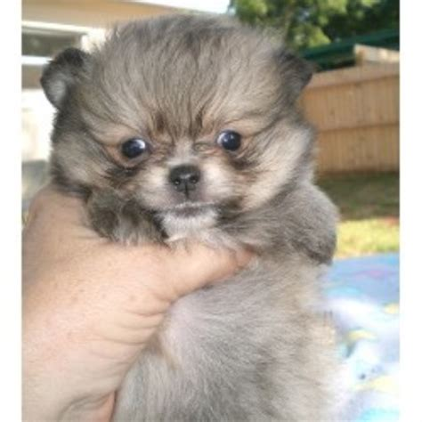 pomeranian for sale orlando small breed puppies for sale in orlando breeds picture