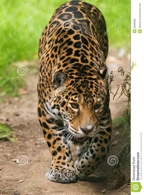 ver imagenes jaguar animal jaguar cat royalty free stock image image 26699566