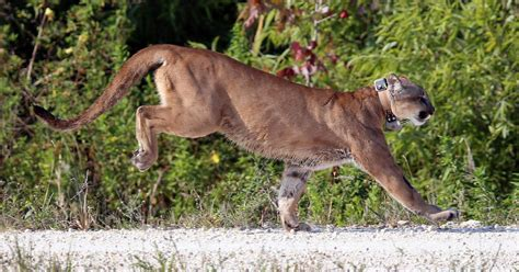 Records For Florida Florida Panther Deaths Still At Record High For 2016 Cbs News
