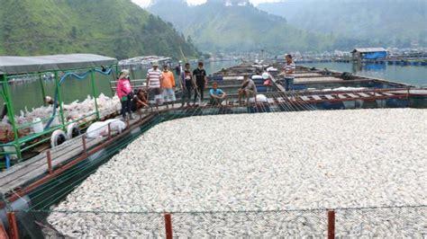 Jual Keramba Ikan Di Pekanbaru 1 500 ton ikan keramba perairan danau toba mati