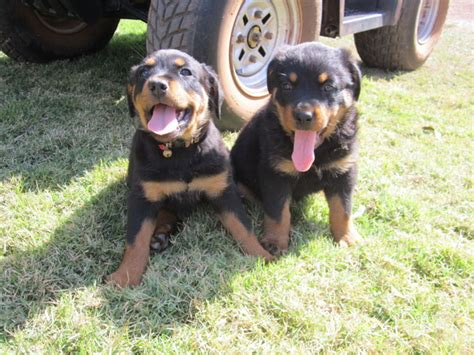 rottweiler carts for sale rottweiler puppies for sale