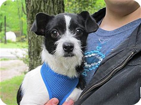 shih tzu rescue syracuse ny syracuse ny chihuahua terrier unknown type small mix meet a puppy for