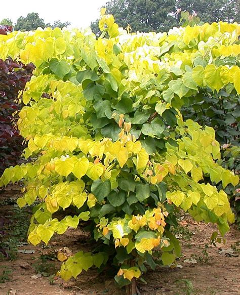 156 best images about cercis on pinterest trees plant catalogs and shrubs