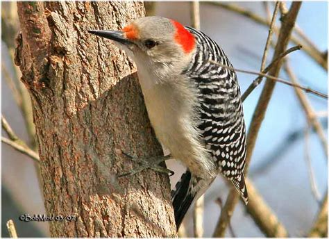red bellied woodpecker female photo bob moul photos at