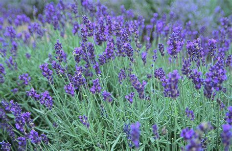 lavender a year on the make