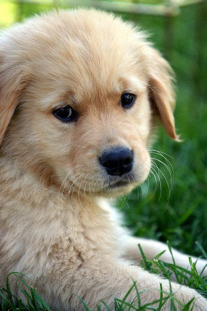 golden retriever baby 122 best images about baby golden retrievers on your crush