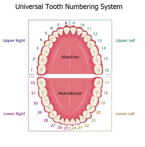 tooth diagram numbers universal tooth numbering system dental education