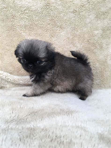 fluffy pug breed meet chewbacca fluffy pug cross shih tzu bury greater manchester pets4homes