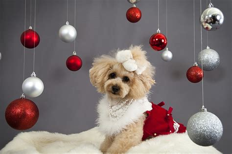 new year animals wallpapers wallpaper poodle dogs balls animals staring