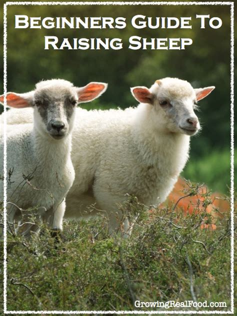 rising sheep top 28 raising sheep raising sheep the basics homesteading and livestock how to raise