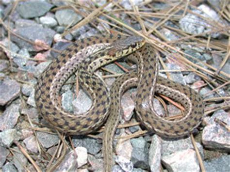 Garden Snake Identification Species Profile Eastern Garter Snake Thamnophis Sirtalis