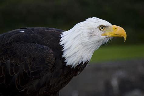 bald eagles  soaring comeback houstonchroniclecom