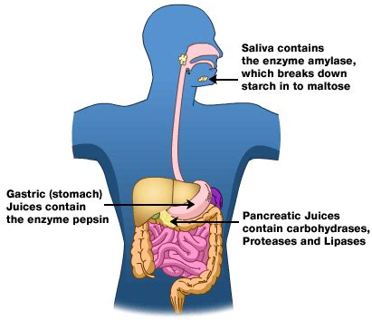 i cannot digest carbohydrates how enzymes help prevent and cancer realfarmacy