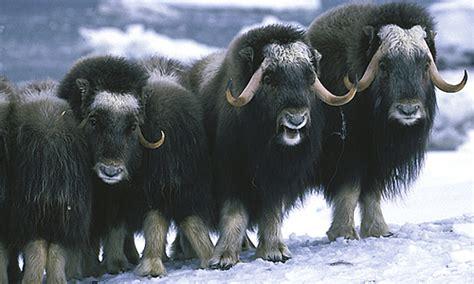 dunianya sari musk ox