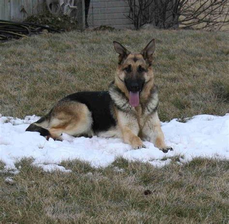 hoobly puppies michigan akc registered german shepherds for sale in central michigan in hoobly classifieds