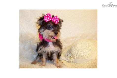 micro teacup yorkie poo puppies for sale yorkiepoo yorkie poo puppy for sale near st louis missouri ade65576 33a1