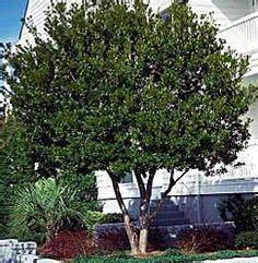shade tree for small backyard trees shrubs on pinterest shrubs evergreen and prunus