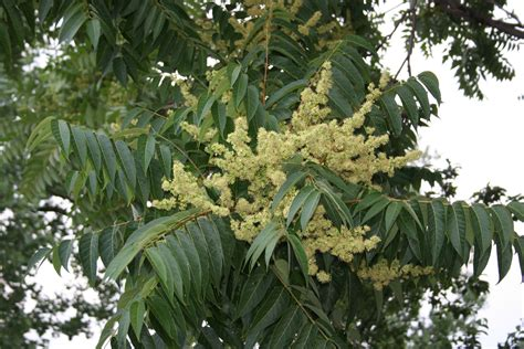 Tree Flower Of by Tree Of Heaven Ailanthus Altissima 183 Msu Plant And Pest