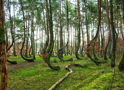 crooked forest poland poland has a crooked forest with 400 bent trees zricks