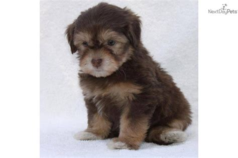chocolate havanese puppies for sale brown havanese puppies www imgkid the image kid has it